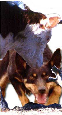 Working Australian Kelpies are found on ranches and farms across North America.