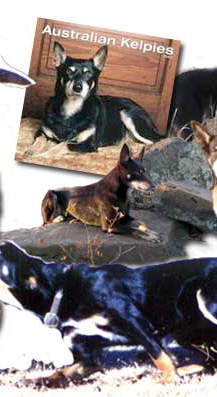 The Working Australian Kelpie can replace two hired hands.