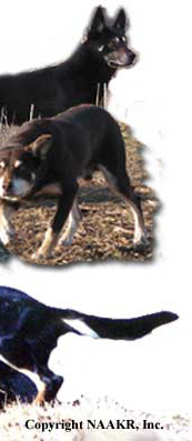Contact a Working Australian Kelpie Breeder Today